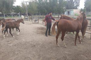 تربية الخيول العربية (2)